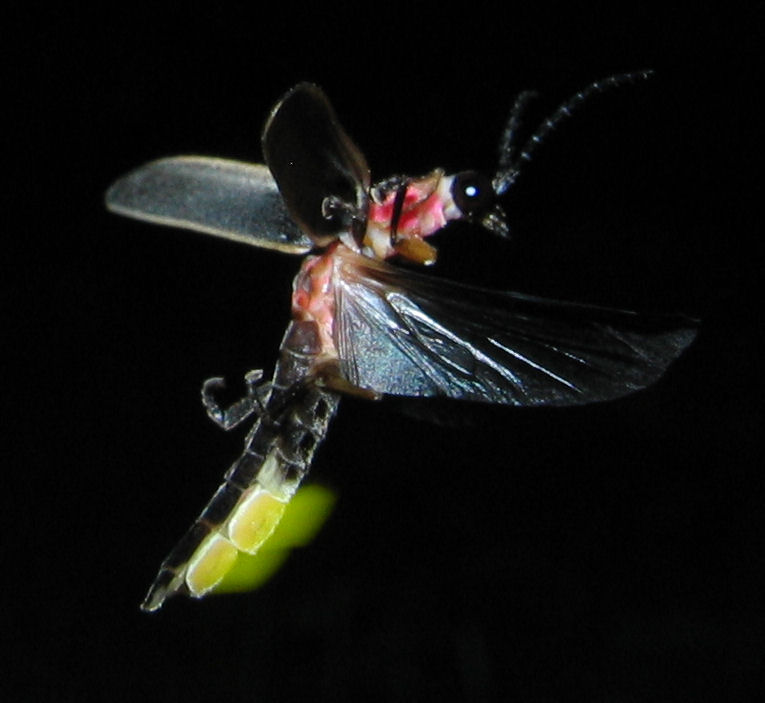 Photinus_pyralis_Firefly_glowing.jpg
